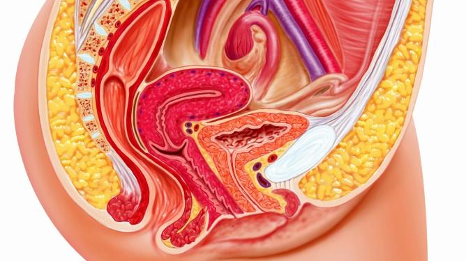 Kvinnens forplantingsorganer