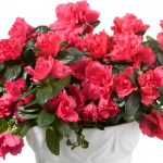 red-azalea-8220christmas-cheer8221-picture-id157418815