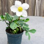 christmas-rose-in-a-pot-picture-id1287000228
