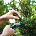 forming-a-hedge-of-yew-bushes-picture-id621861140