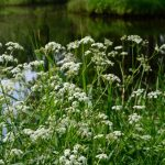 blooming-cow-parsley-picture-id1289058196