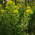 euphorbiaceae-or-milkweed-in-the-sun-with-dark-reed-picture-id1223651744