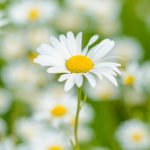 oxeye-daisies-in-a-springtime-meadow-picture-id690378820