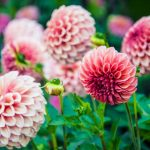 pink-dahlias-picture-id513204805