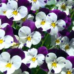 pansies-picture-id172794917