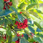 elderberry-red-shrub-with-berries-and-green-leaves-in-the-garden-in-picture-id1307642636