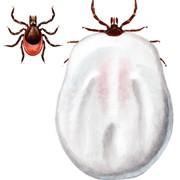 Sammenheng mellom flåttbitt og hjernehinnebetennelse
