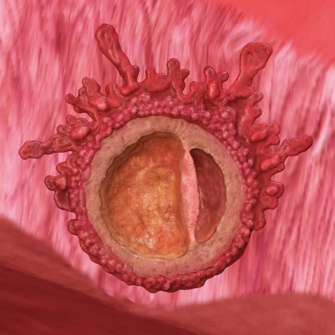 Embryoet har festet seg i livmoren og morkake og plommesekk formes.