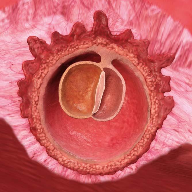 I løpet av denne uken vil embryoet bestå av tre lag