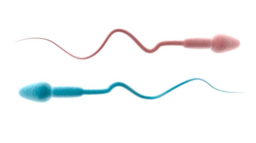 En sædcelle veier mikroskopisk lite, men faktisk er sæcellen som bærer X-kromosomet (som gir jente) tyngre enn det som bærer Y-kromosomet (som gir gutt). Illustrasjon: Shutterstock