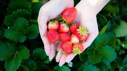 Tåler du selv jordbær, er det ingenting i veien med å spise dem også når du ammer. Kos deg!
