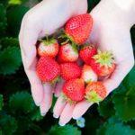 stawberries-1